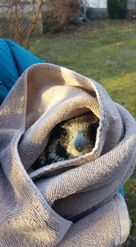 Peregrine Falcon Injured ESA NEPA